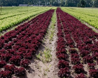 6a0133a-batavia-rosso-salat-macdonalds