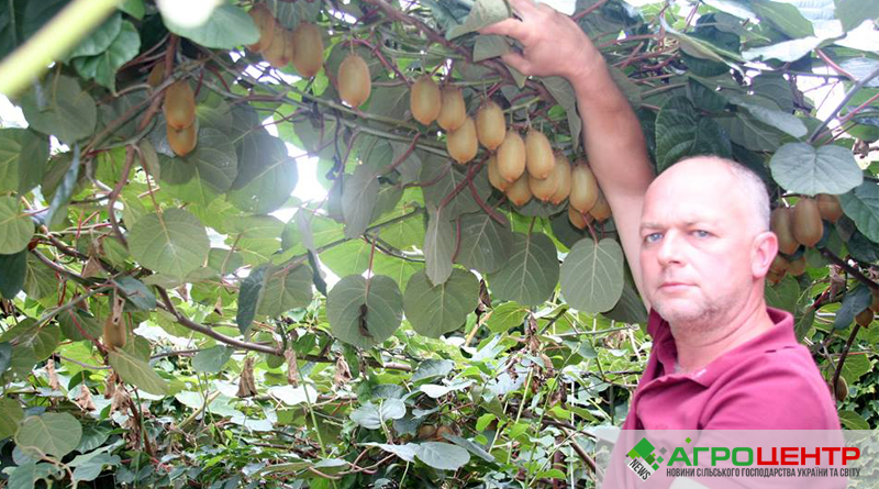 Всё о выращивании киви 413
