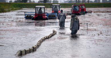 По коліна в воді: як збирають журавлину на одній з найбільших плантацій Європи (фото, відео)
