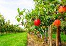 Уряд компенсовуватиме 80% вартості посадкового матеріалу садівникам