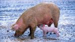 A farmer from Zhytomyr region popularizes pig breeding through his video blog
