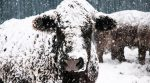 Due to bad weather, farmers had to dig their cows out of snow (video)
