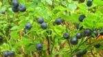 Черника с зоны отчуждения: задержали женщину, которая собирала ягоды на продажу в Чернобыле
