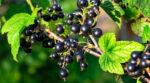 Вчені в Великобританії створюють кліматично стійкий сорт чорної смородини