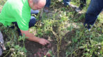 A farmer from Volyn presented new potato varieties (photo)