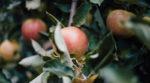 Площа органічних садів в ЄС збільшиться на 30%