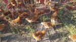 Фермер испытывает новый способ выгула кур в «птичьем раю» (фото)