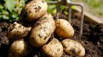 Цього року у фермерів рекордний не врожай картоплі