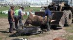 На Хмельниччині невідомі отруїли більше сотні корів (фоті)