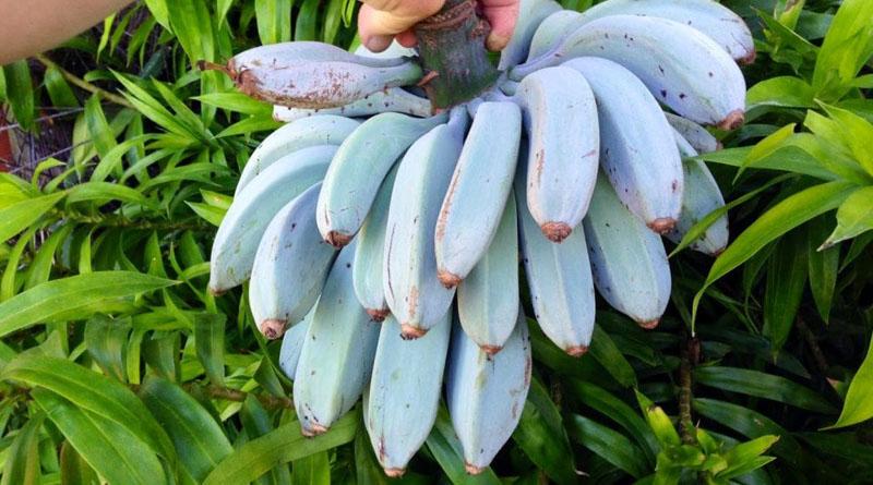Фермерів підкорюють банани блакитного кольору (фото)