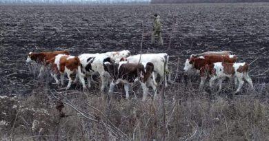 """Російські корови """"незаконно"""" перетнули український кордон"""