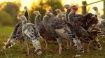 """""""Втеча вечері"""": на відео зняли як з птахофабрики втікає зграя індиків"""