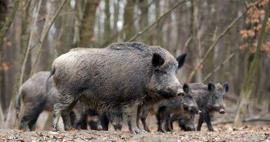 Волиняни відновлюють популяцію диких кабанів