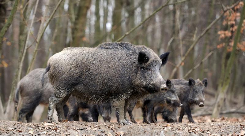Locals in Volyn Restore the Wild Boar Population