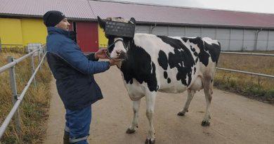В Росії корів випасають в VR окулярах (фото)
