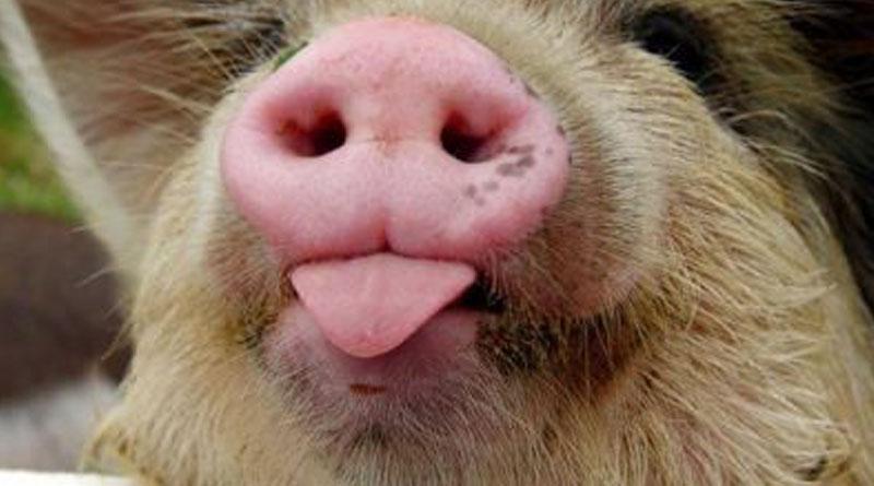 Свиня в ефірі: тварина зіпсувала ефір одного з відомих телешоу