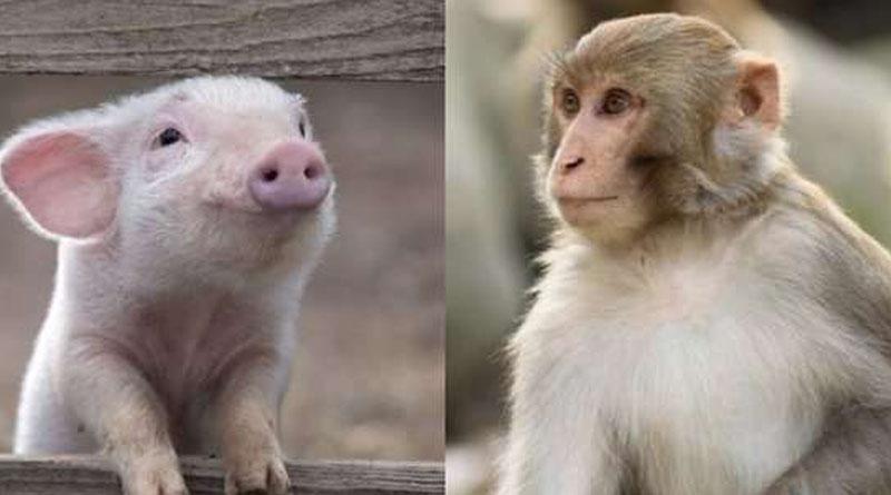 В Китаї народилися перші поросята з клітинами мавп