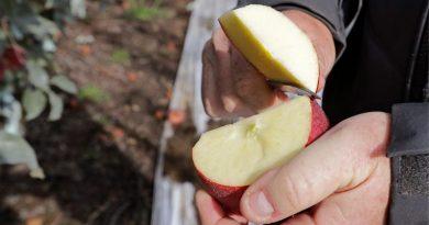 Рік у холодильнику: в США почали продавати майже безсмертні яблука
