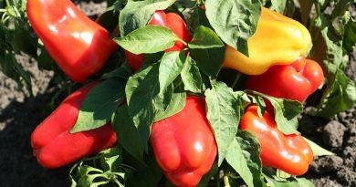 На Черкащині фермери збирають рекордний врожай солодкого перцю