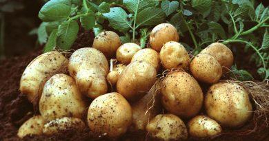 Купуйте поки є: експерти прогнозують подорожчання картоплі