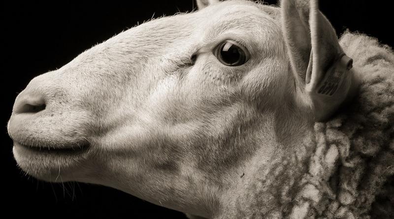 Задумливі, незадоволені, зворушливі:відомий фотограф випустив альбом з фермерськими тваринами (фото)