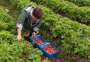 На Рівненщині вирощуватимуть полуницю для Італії та Іспанії