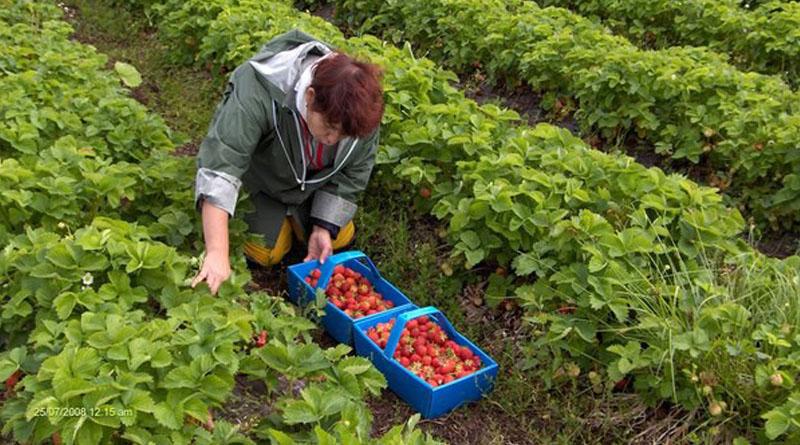 На Рівненщині вирощуватимуть полуниця для Італії та Іспанії