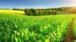 Генетичну карту кукурудзи розшифрували американські вчені