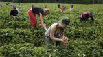 Польські фермери просять українських робітників залишитися
