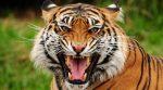 Коронавірусом заразилася тигриця із зоопарку
