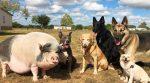 У Каліфорнії собаки виховали свиню
