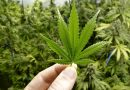 COVID-19 can be treated with cannabis