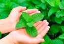A farmer from Zakarpattia invented a new mint business during the quarantine