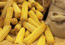 В Україні прогнозують рекордний урожай кукурудзи