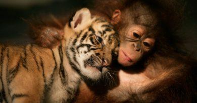 Орангутан доглядає за трьома тигренятами: це відео розчулить кожного