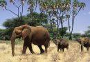 В Африці зафіксовано масове вимирання слонів при загадкових обставинах